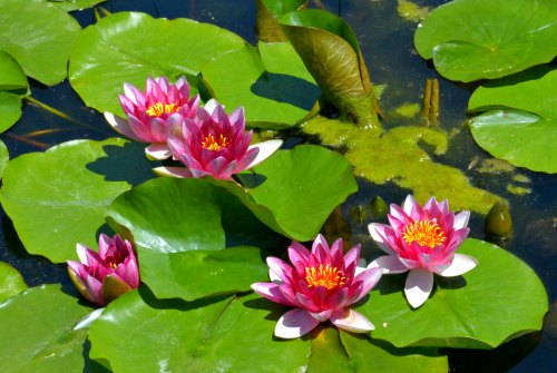 Water Lilies Hardy And Tropical Water Lilies For Ponds