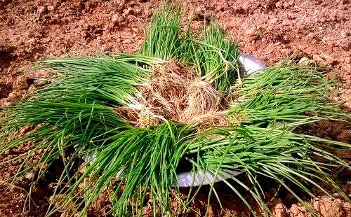 Growing Bunching Onions