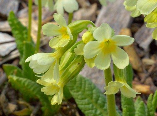 Primula elatior ssp pallasii, by Robert Pavlis