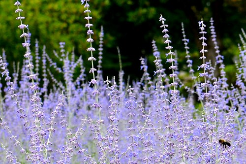 Russian sage - a common subshrub