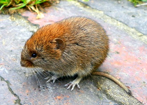how to kill moles and voles