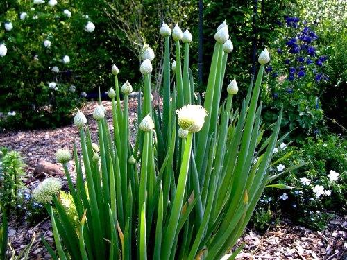 Allium fistulosum, by Robert Pavlis