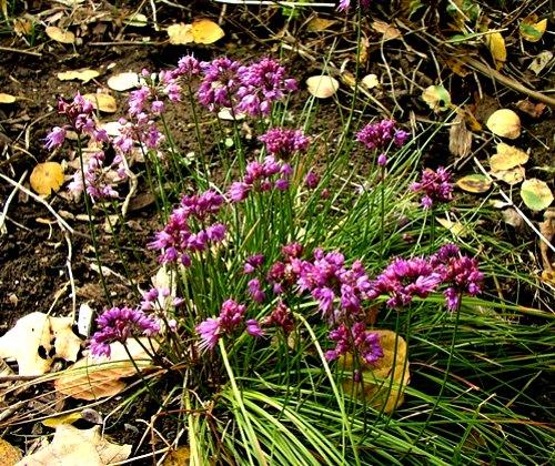 Allium thunbergii 'Ozawa', by Robert Pavlis