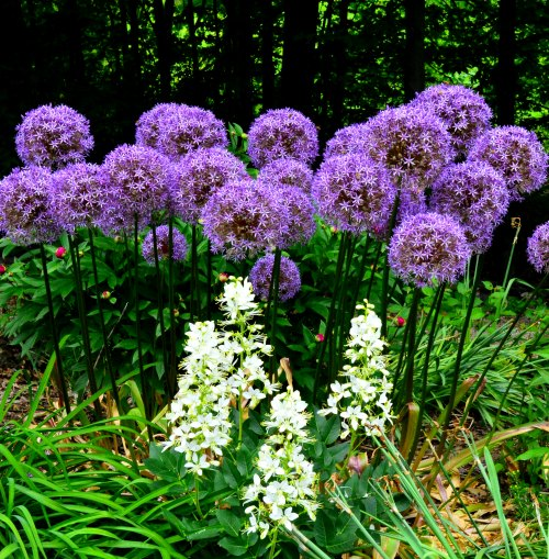 Allium Globemaster in the authors garden, by Robert Pavlis
