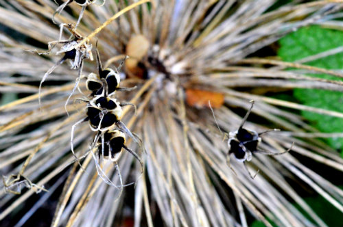 collecting seed Allium cristophii seed head with the seed capsules opening up to show the ripe seed, by Robert Pavlis