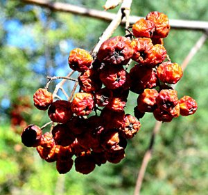 Mountain ash fruit cluster ready for collecting seed, by Robert Pavlis