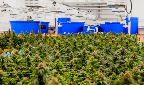 Medical marijuana grown aquaponically using nutrients from tilapia which are held in the blue tanks, Green Relief Inc