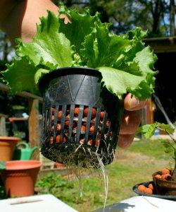 Aquaponics grow vegetables in your pond for Pond veggie filter