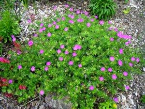 Geranium sanguineum blooms all summer long