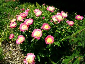 Peony 'bowl of beauty' never needs staking, by Robert Pavlis