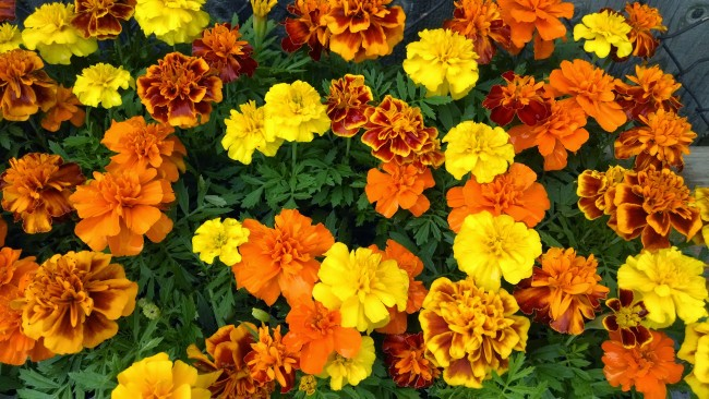 Marigold French Dwarf Double Mix Seeds Garden Hoard