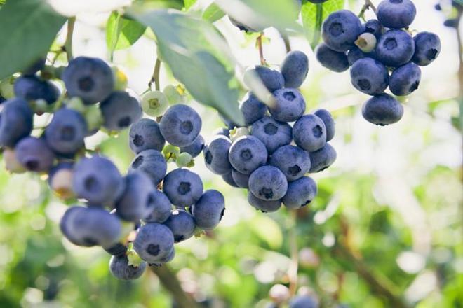 Vaccinium corymbosum Rubel, Highbush Blueberry 'Rubel', Blueberry 'Rubel', Berries, Blue Berries