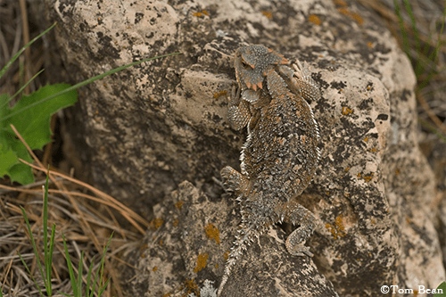 Wildlife_Horned Lizard copy