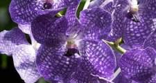 ガーデニングで楽しむ紫のジゴペタラム