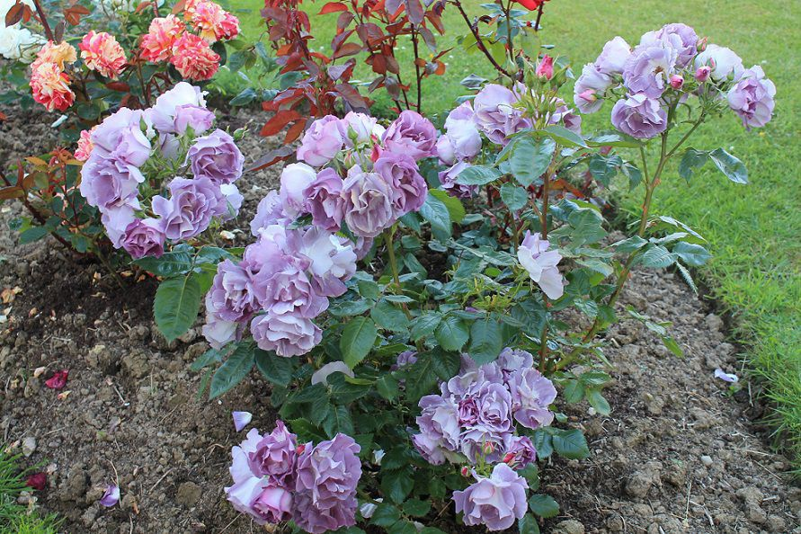 Time Roses Planting