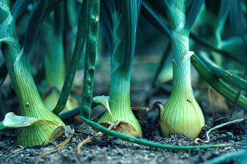 Image result for onion white plant