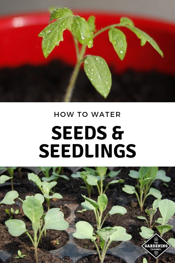 tomato seedling and seedlings in tray with text overlay how to water seeds and seedlings