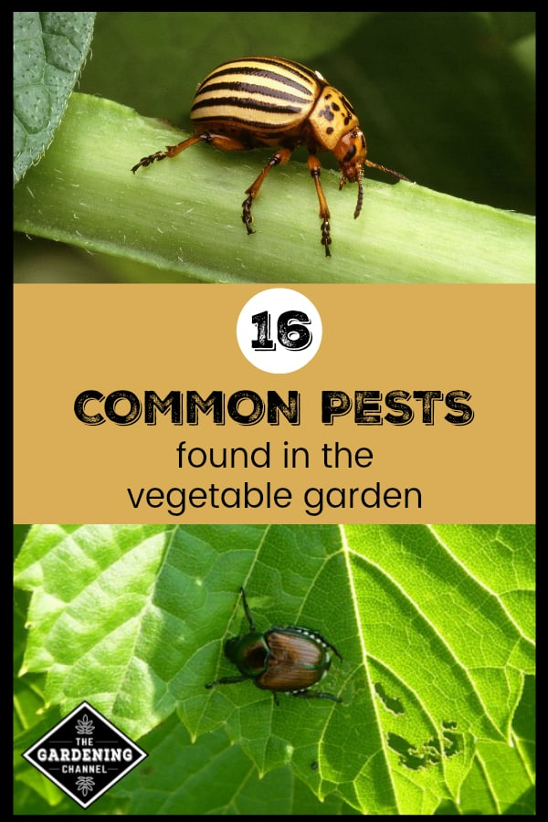 potato bug and japanese beetle with text overlay 16 common pests found in the vegetable garden