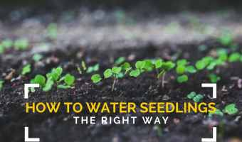 How to Water Seedlings the right way