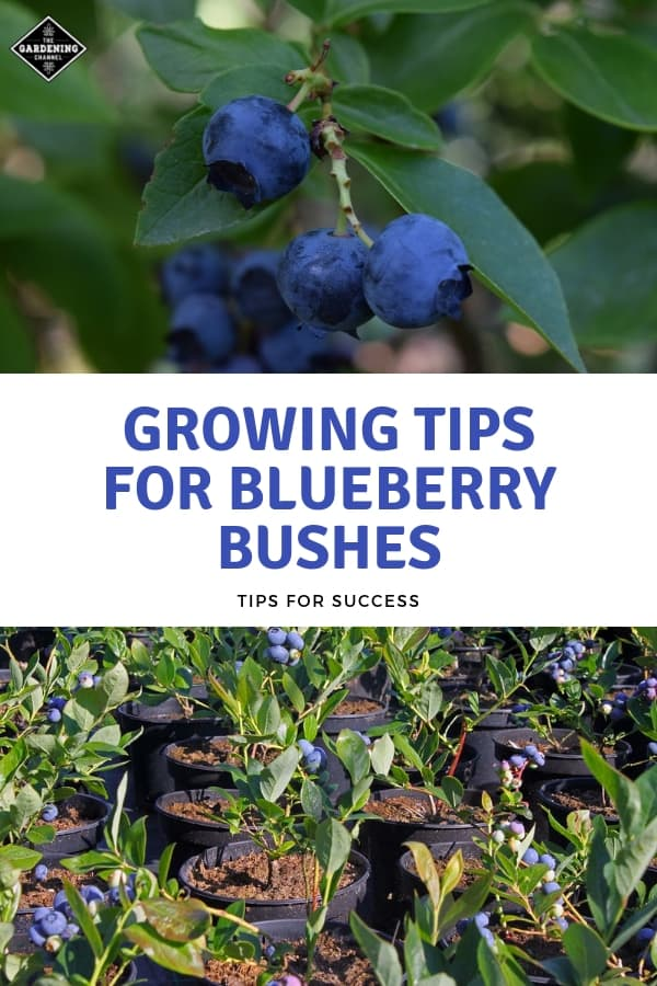 blueberry bush and blueberry bushes in pots with text overlay growing tips for blueberry bushes tips for success