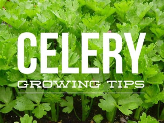 Tips for Growing Celery