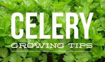 How to Grow Celery Plants