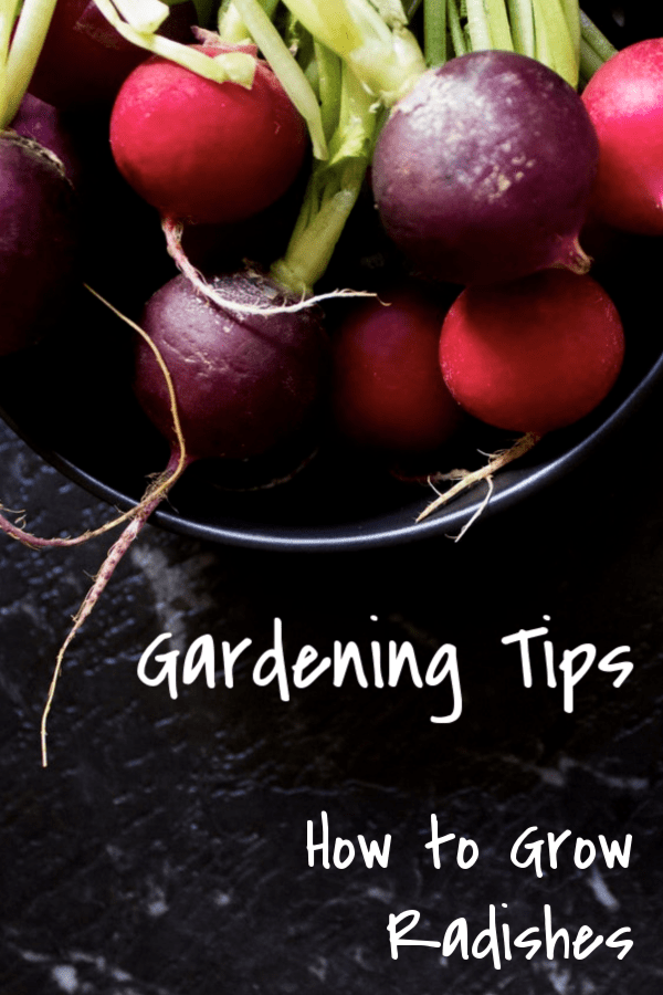harvested radishes in bowl with text overlay gardening tips how to grow radishes