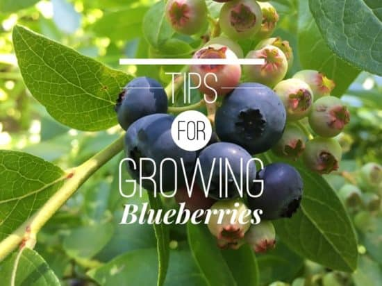 Growing Tips for Blueberries