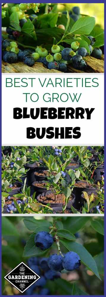 growing blueberry bushes