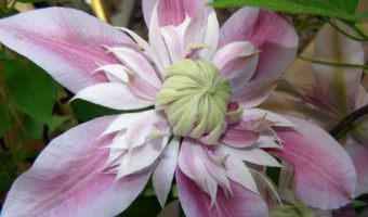 How to Grow and Propagate Clematis Flowers