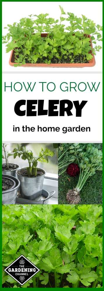 how to grow celery plants