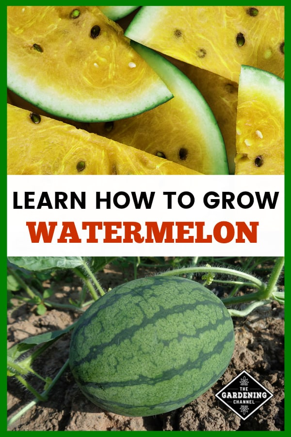 yellow watermelon and watermelon in garden with text overlay learn how to grow watermelon