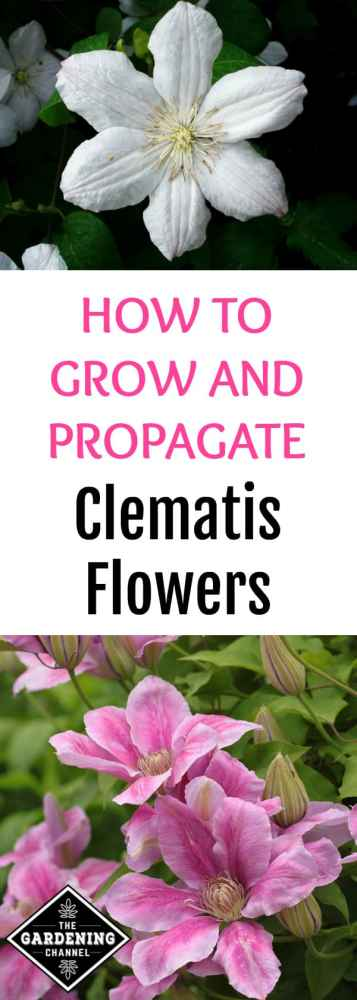 clematis flowers growing in garden with text overlay propagate and grow clematis
