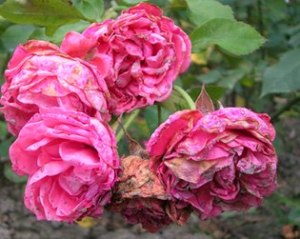 Rose attacked by pests