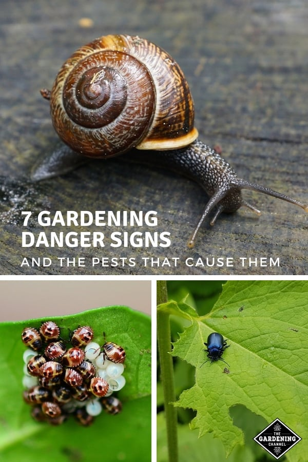 snail insect eggs on leaf beetle hole in leaf with text overlay seven gardening signs and the pests that cause them