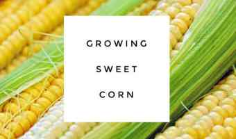 Tips for Growing Sweet Corn
