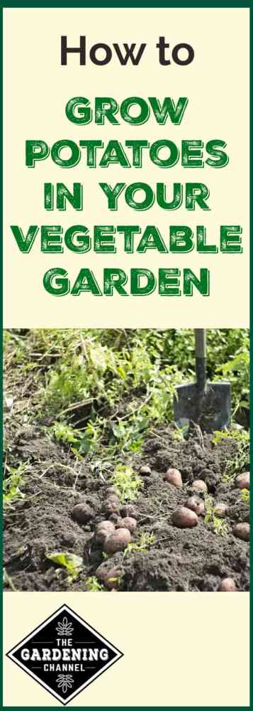 harvesting potatoes and shovel with text overlay of how to grow potatoes in your vegetable garden