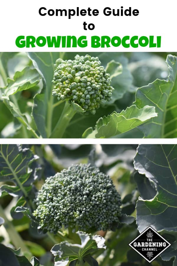 broccoli growing in garden with text overlay complete guide to growing broccoli