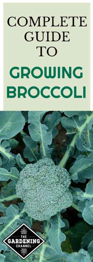 guide to growing broccoli