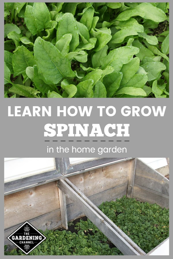spinach in garden and coldframe with textoverlay learn how to grow spinach in the home garden