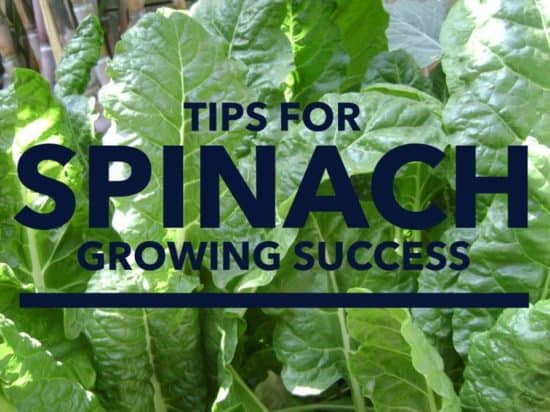 How to grow spinach correctly