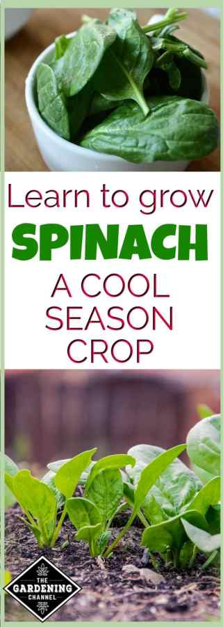 Learn to grow spinach
