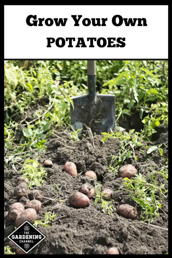 harvested potatoes with text overlay grow your own potatoes