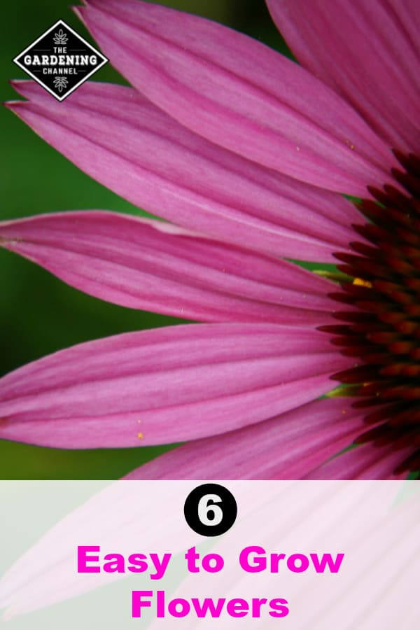 closeup coneflower petals with text overlay six easy to grow flowers