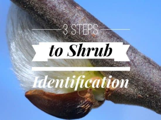 3 Basic Steps to Shrub Identification