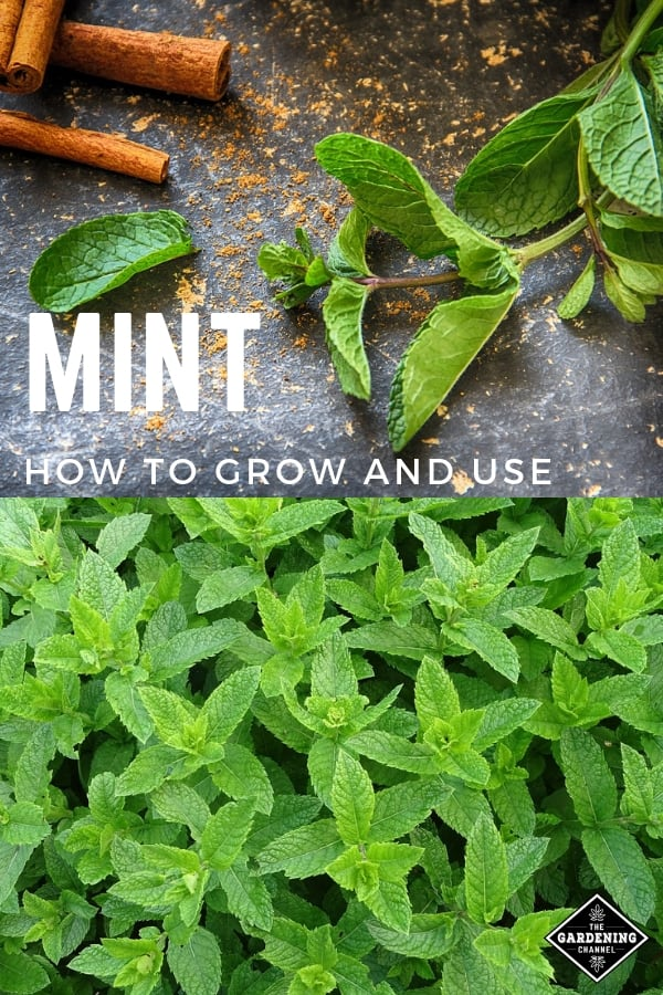 mint with recipe and mint in garden with text overlay mint how to grow and use