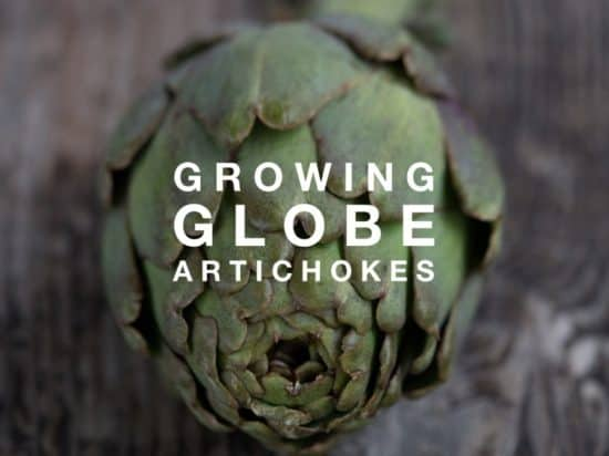 How to Grow Globe Artichokes