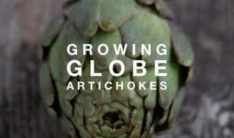 How to Grow Globe Artichokes