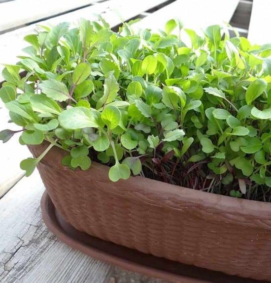 growing microgreens