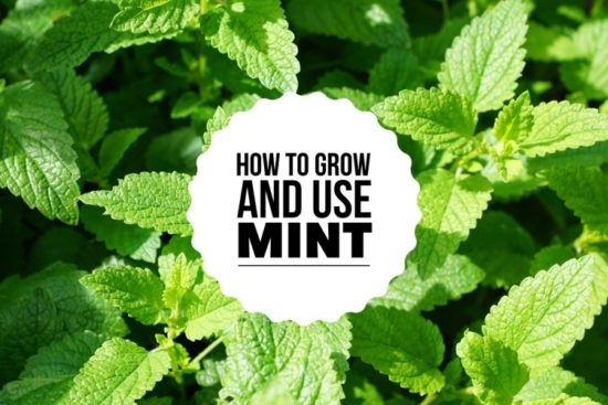 How Long Do Peppermint Seeds Take To Germinate - Truths